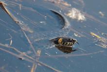 Grass Snake, Called The Ringe...