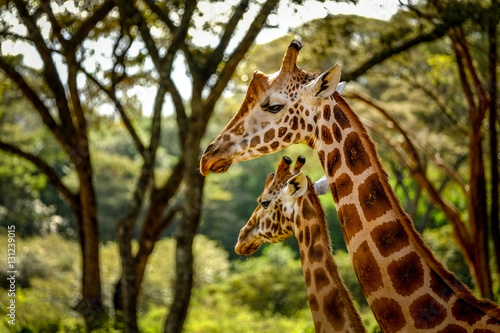 Fotobehang Giraffe Endangered Rothschild Giraffes in Nairobi, Kenya. December 2016 Photographer 2016