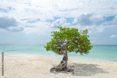famous Divi Divi tree which is Aruba's natural compass Poster