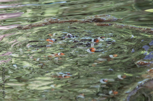 Fotografie, Tablou  Clownfish farming in cement pool