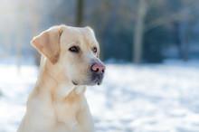 Lab Playing In The Snow
