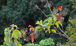 canvas print picture Hellrote Aras in Costa Rica