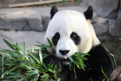 Stickers pour porte Panda Panda in Korea