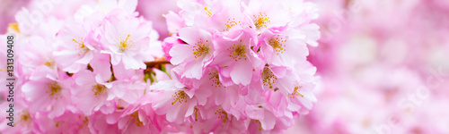 Panorama with beautiful pink flower cherry blossom, sakura