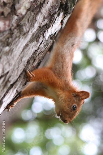 Printed kitchen splashbacks Squirrel Бельчонок на коре дерева