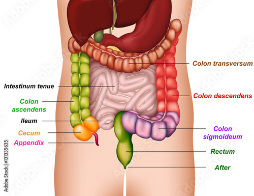 colon anatomy, medical vector illustration - Buy this stock vector ...