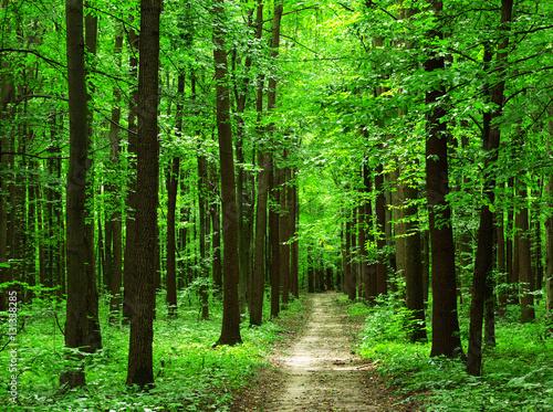 Fototapeta forest obraz