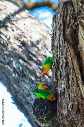 Spoed Foto op Canvas Grijze traf. African lovebirds selecting a nest in a tree in the Serengeti, Tanzania, Africa