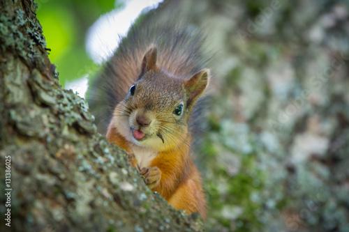 Foto op Canvas Eekhoorn Squirrel shows tongue
