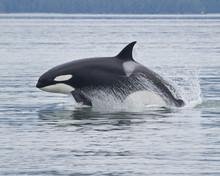 Breaching Orca, Alaska