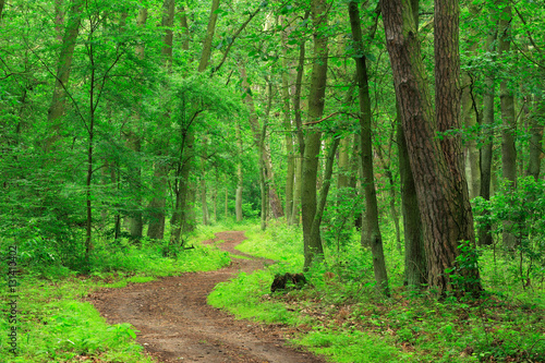 Fototapeten Wald Winding Footpath through Green Forest of Deciduous and Coniferous Trees in Spring