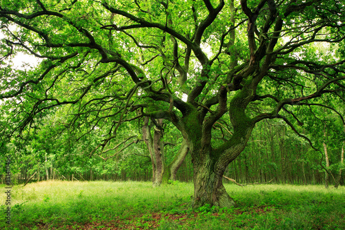Fotografie, Obraz  Mighty Moss Covered Old Oak Tree on Clearing in Green Forest