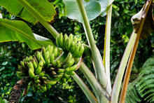 Bunch Of Green Bananas On A Tree