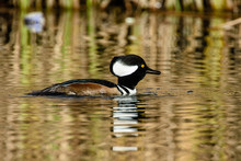 Hooded Merganser Male Swimming Hood Down Reflected In Colorful Water