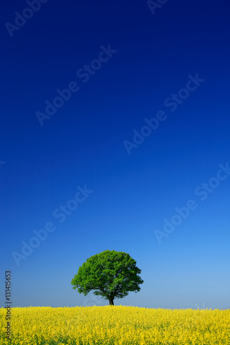 Foto op Plexiglas Donkerblauw Mighty Oak Tree in Field of Oilseed Rape, Spring Landscape under Blue Sky