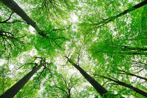 Fototapeten Wald Forest of Tall Beech Trees in Spring, low angle shot