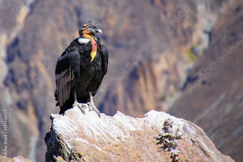 Andean Condor sitting at Mirador Cruz del Condor in Colca Canyon Wallpaper Mural