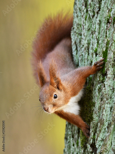 Fotografía  Red Squirrel (Sciurus vulgaris)