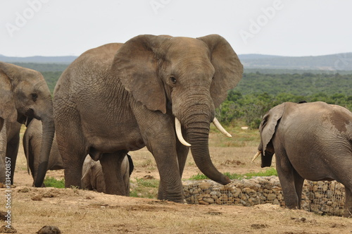 Foto op Aluminium Olifant Elephants in the wild, Eastern Cape, South Africa