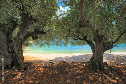 Foto op Aluminium Olijfboom Olive trees on horgota beach - Kefalonia, Greece