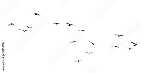 Spoed Fotobehang Vogel flock of pigeons on a white background
