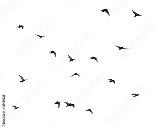 Poster Bird flock of pigeons on a white background