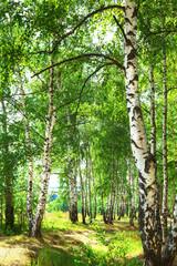 Fototapeta Optyczne powiększenie summer in sunny birch forest