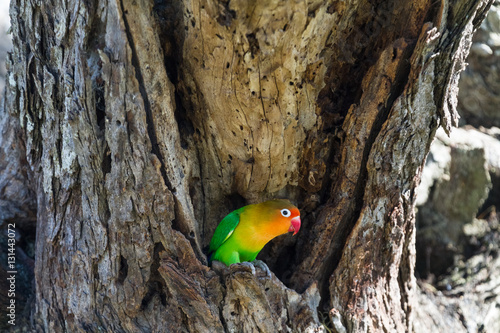 Spoed Foto op Canvas Grijze traf. Lovebird near the nest. Serengeti, Tanzania.