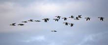 Flock Of Red-breasted Merganse...
