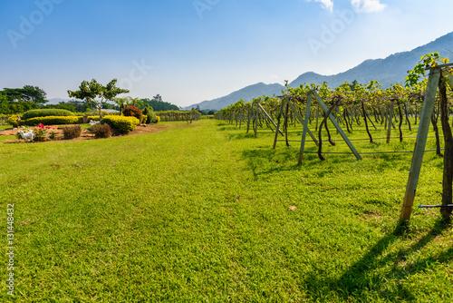 Papiers peints Vignoble Vineyard Sunrise at Nakhon Ratchasima Province