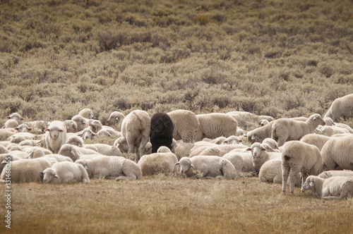 Fotografie, Obraz  Black Sheep Amid Herd of White Sheep