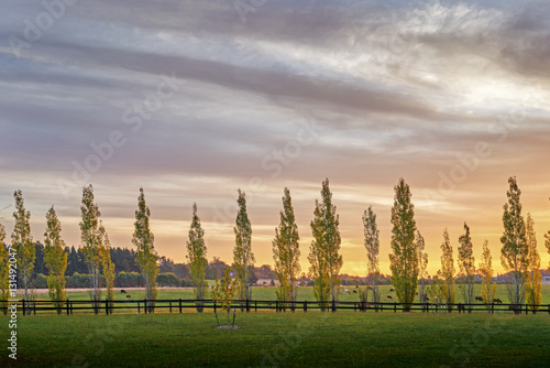 Photo Backlit poplars in a row line a fence in the New South Wales southern highlands