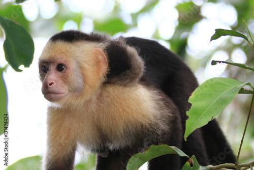 Photo capuchin in Costa Rica