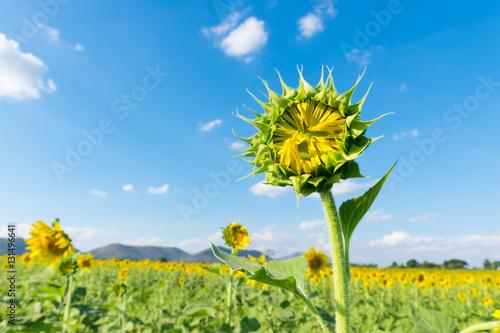 Staande foto Lente Sunflower young bud blooming