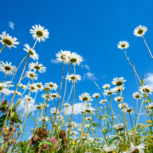 Summer Meadow With Daisy Flowers And Grass, View From The Ground