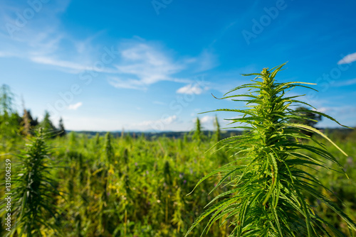 Fototapeta Marijuana plant at outdoor cannabis farm field obraz
