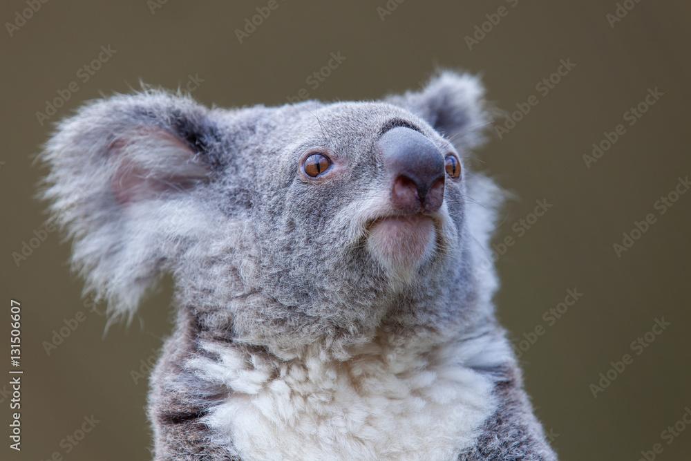 Head Koala