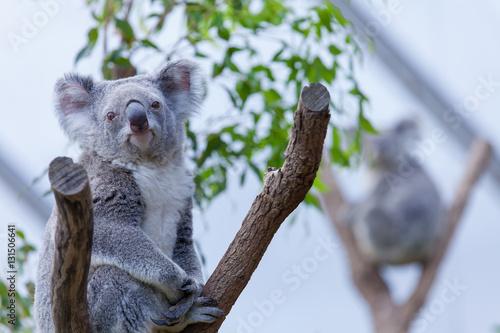 Garden Poster Koala Koala on a tree branch