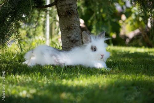 Angora Kaninchen Im Garten Buy This Stock Photo And Explore