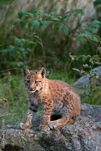 Foto auf Leinwand Luchs eurasian lynx, lynx lynx