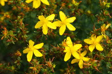Many Yellow Hypericum Flowers On Bush