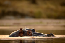 Common Hippopotamus Or Hippo (...