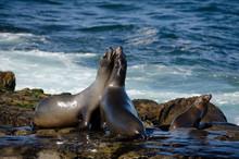 Fighting California Sea Lions
