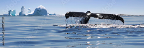 Fotografie, Obraz  Alaska. Humpback whale breaching jumping.