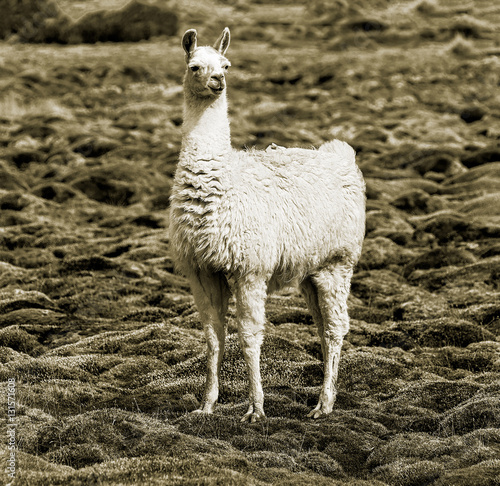 Alpaca family grazing in the desert plateau of the Altiplano, Bolivia (stylized retro)