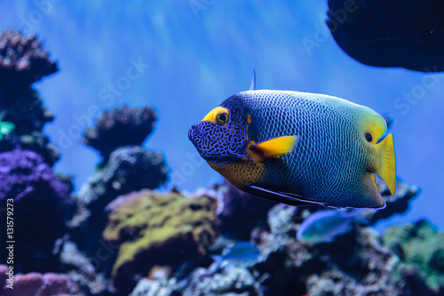 Poster Sous-marin Blue faced angelfish Pomacanthus xanthometopon in a coral reef.