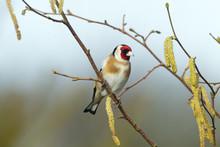 Goldfinch Carduelis Carduelis On Hazel Catkins