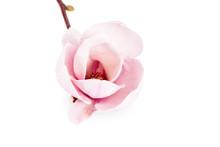 Pair Pink Magnolia
