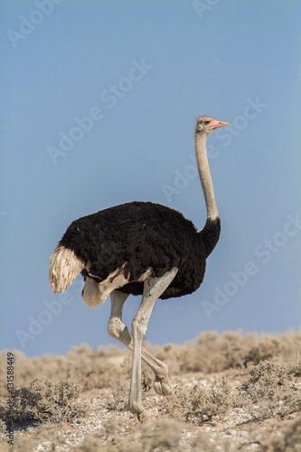 Common ostrich (Struthio camelus), Etosha National Park, Namibia