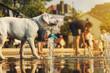 junger labrador retriever hund welpe auf einem platz mit wasserfontänen und menschen
